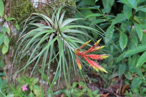 Epiphyte - Parc arboré - Eden Jungle Lodge - Bocas del Toro- Panama