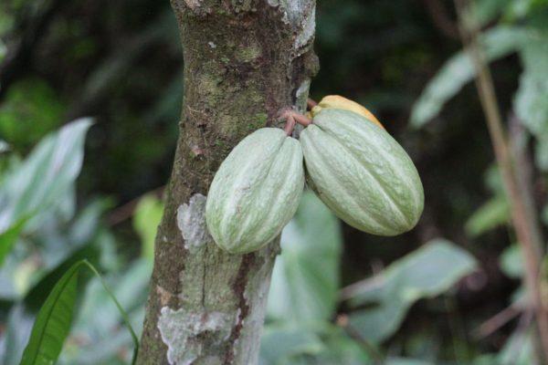 Cabosse de cacao - Eden jungle lodge - Bocas del Toro - Panama