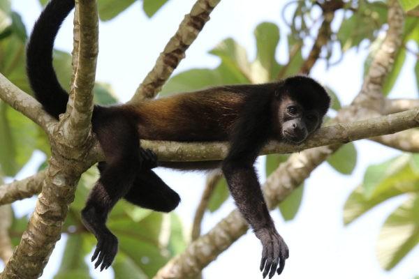 Singe hurleur - Eden Jungle Lodge Bocas del Toro Panama