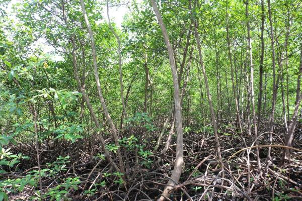 Mangrove - Eden Jungle Lodge - Bocas del Toro- Panama
