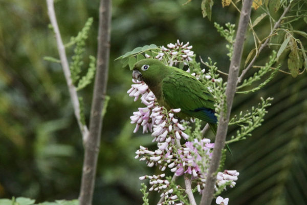 Olive throated Parakeet - Eden jungle lodge - Bocas del Toro - Panama