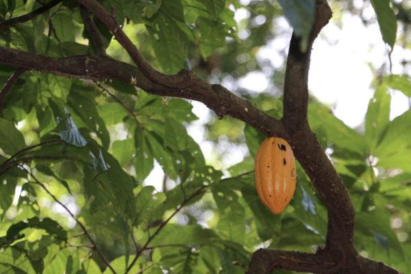 Cacao - Eden jungle lodge - Bocas del Toro - Panama