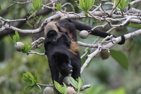 Singes hurleurs - Eden Jungle lodge - Bocas del Toro - Panama