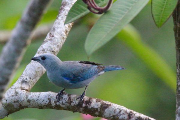 Blue gray Tanager-  Eden jungle lodge - Bocas del Toro - Panama
