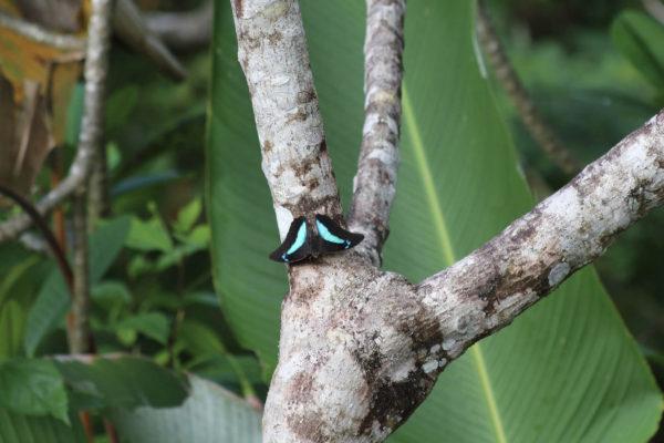 Papillon - Eden Jungle lodge - Bocas del Toro - Panama