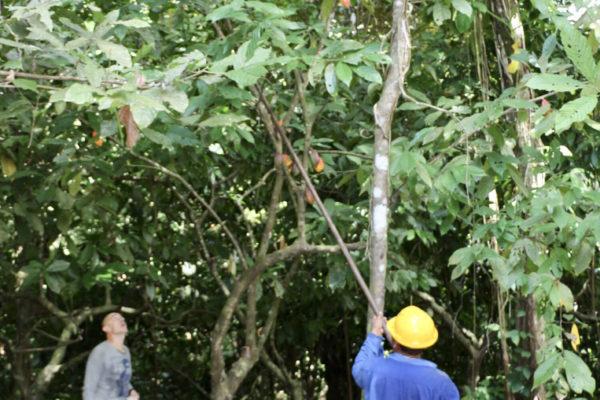 Récolte du cacao - Eden jungle lodge - Bocas del Toro - Panama