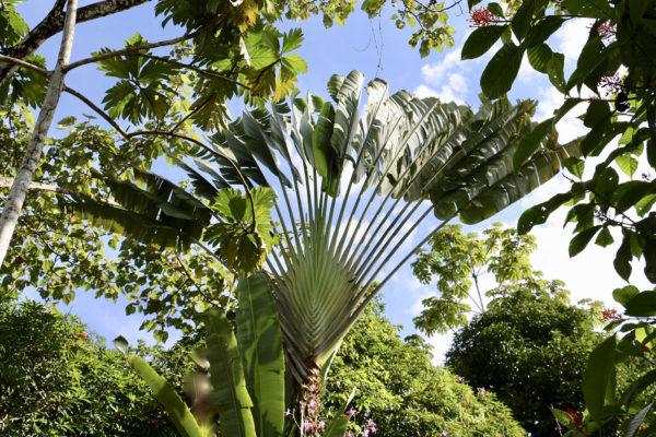Arbre du voyageur - Eden Jungle Lodge - Bocas del Toro - Panama