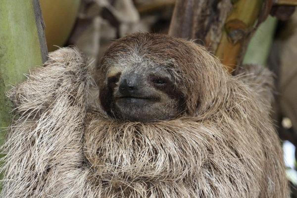 Jeune paresseux - Eden jungle lodge - Bocas del Toro - Panama