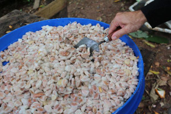 Fèves de cacao avec mucilage - EJL - Bocas del Toro - Panama
