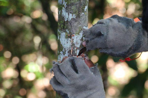 Greffage de cacaoyer - EJL - Bocas el Toro - Panama